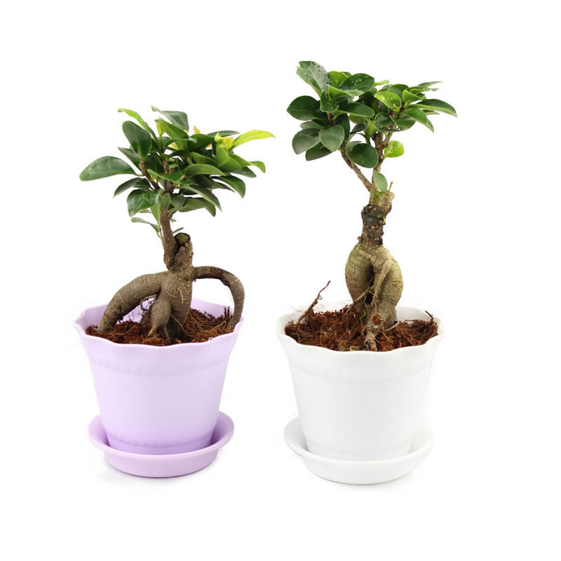 朗阆 榕树1棵不开花非常容易 盆景