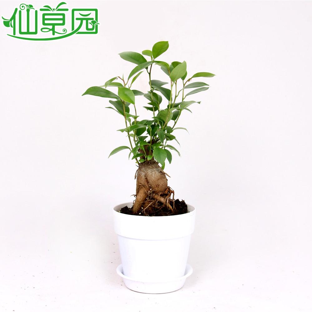 开花季节 不开花 植物品种 榕树 颜色分类 人参榕+圆形亮白色花盆人参