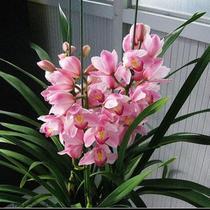 兰花春季夏季冬季非常容易观果植物观叶植物 盆景