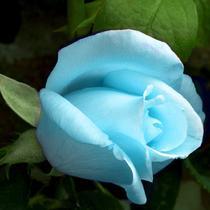 玫瑰春季夏季秋季非常容易观花植物 盆景