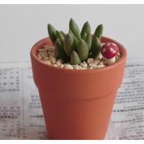 仙人球夏季非常容易多肉植物 盆景