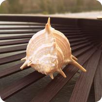 摆件海螺 B0010海螺