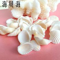 摆件贝壳 白毛贝壳贝壳