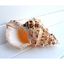 摆件海螺 C0034海螺