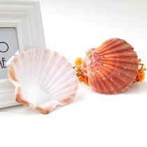 摆件贝壳 红色扇贝海螺