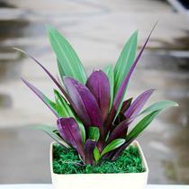 不开花非常容易观叶植物 GY030盆景