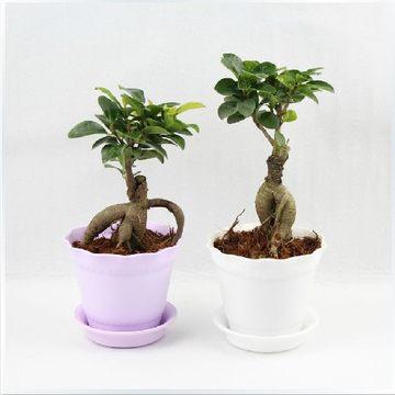 小榕树一棵不开花非常容易观茎植物观叶植物