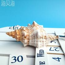 摆件海螺 赤拳螺海螺