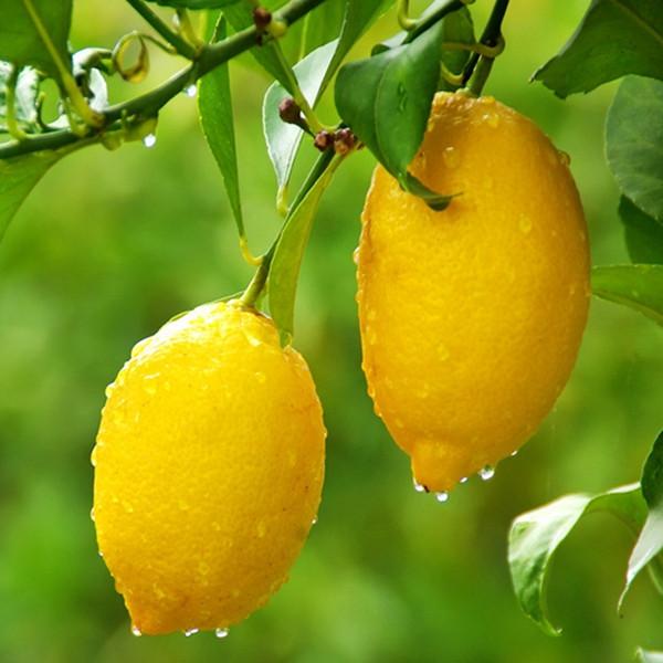 好心情春季夏季秋季非常容易柠檬盆景