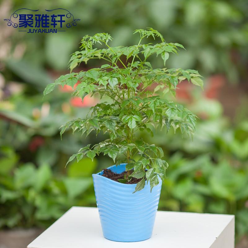 聚雅轩 黄色绿色天蓝色幸福树不开花非常容易观茎植物观叶植物 盆景