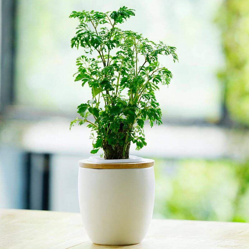 植物 当绿植