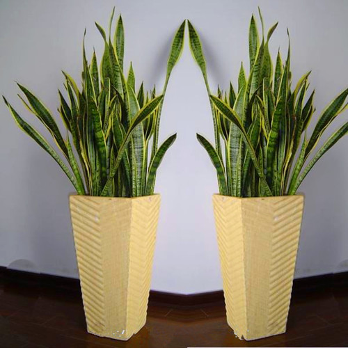 植物 虎尾兰 装修