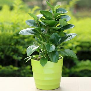 甲醛 植物