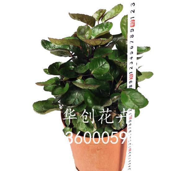 绿植 通透性