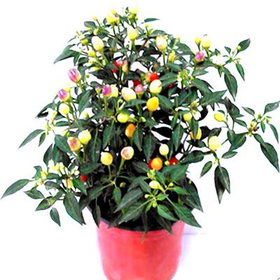 盆栽 朝天椒