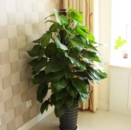 植物 大叶 装修
