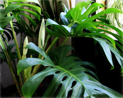 植物 龜背竹 裝修
