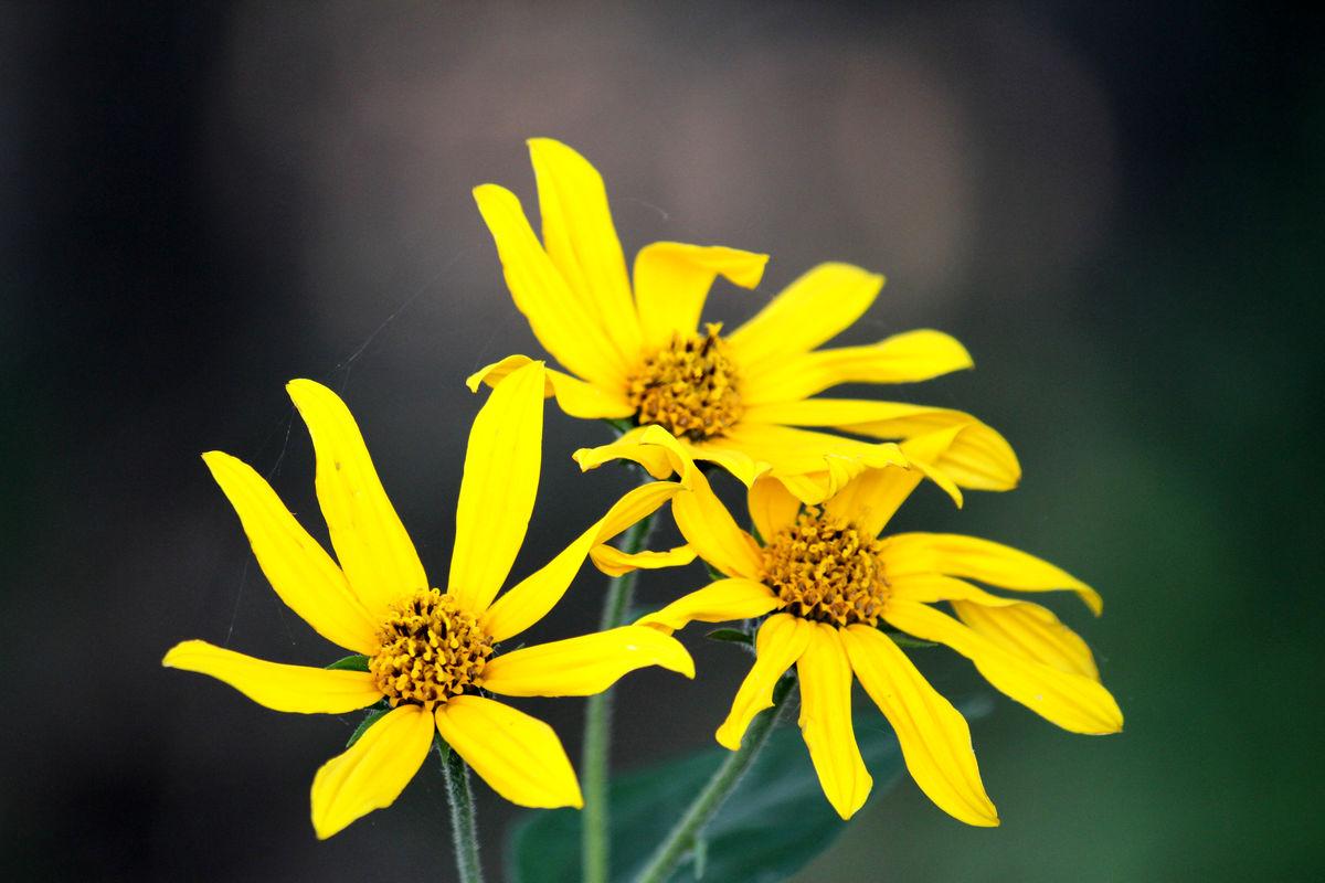 花卉 太阳花